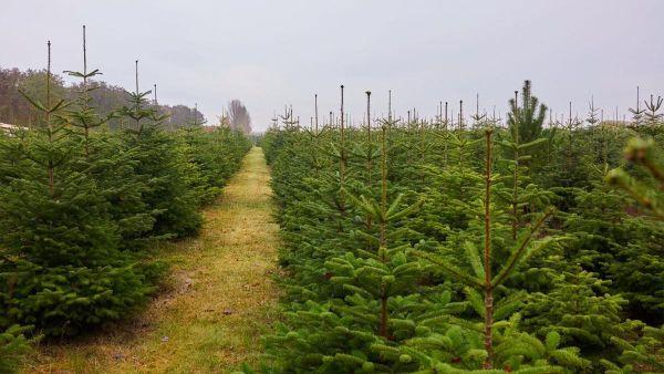 Bild Weihnachtsbaumkultur final